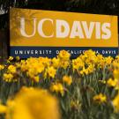 UC Davis sign with yellow flowers